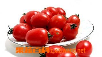 果蔬百科小番茄是转基因吗